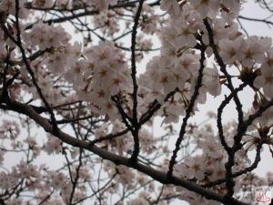 おいせ橋通りの桜2
