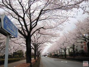 おいせ橋通りの桜3