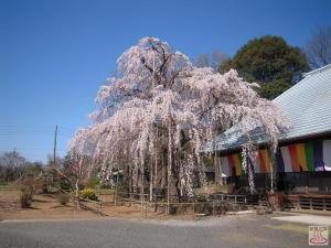 慈眼寺のしだれ桜(全景)