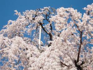 慈眼寺のしだれ桜(拡大1)