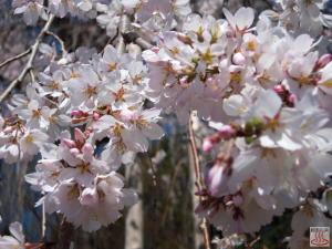 慈眼寺のしだれ桜(拡大2)