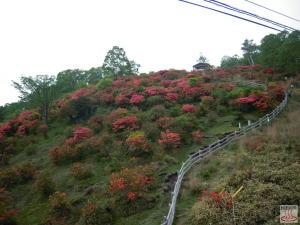 赤城山見晴山展望台付近のヤマツツジ