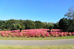 武蔵丘陵森林公園のコキア f10.0mm