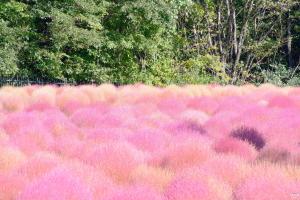 武蔵丘陵森林公園のコキア f100.0mm