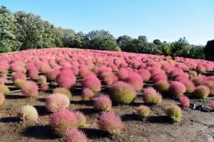 武蔵丘陵森林公園のコキア2 f10.0mm