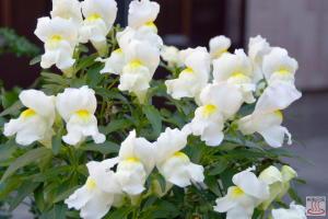 金魚草 ~10月の花