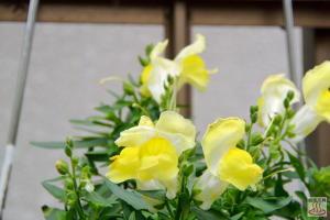 金魚草 ~11月の花