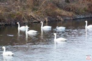 越辺川の白鳥2