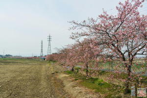 すみよし桜の全景