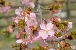すみよし桜(河津桜)