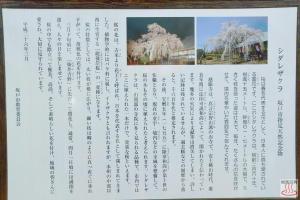 しだれ桜の説明