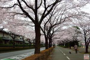おいせ橋通りの桜