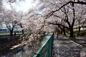 満開の東坂戸団地の桜