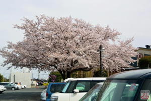 蔵の湯の桜