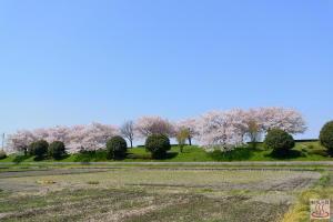 入間川の桜