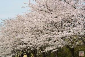 東清掃センターの桜