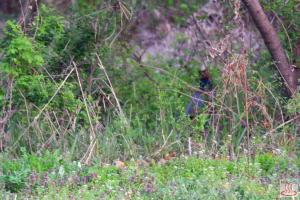 飯盛川の雉