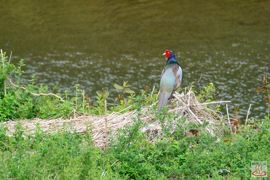 入間川の雉