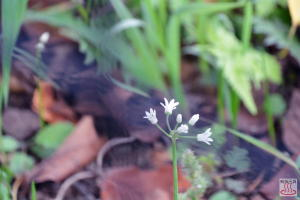 ステゴビルの花